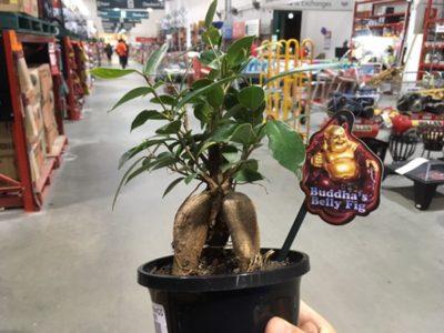 ずぼら盆栽には最適の植物 !? ガジュマルの苗木をオーストラリアで買ってみた